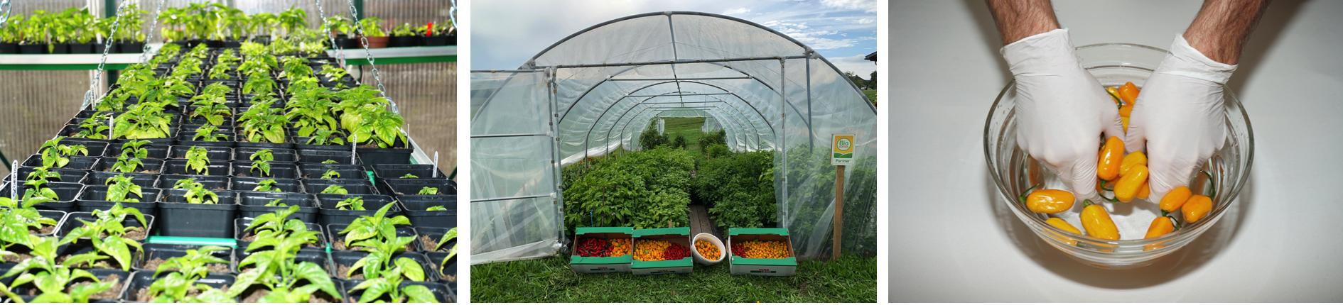 Chilipflanzen, ein Folientunnel und das Waschen der Chilis