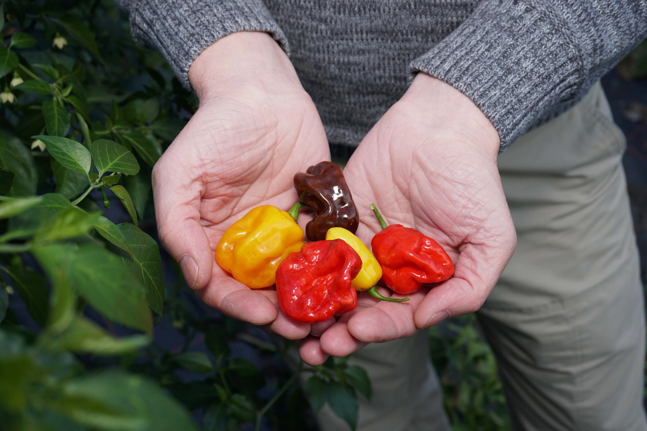 Hand mit Chilis in verschiedenen Farben von gelb über rot bis violett