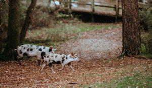 Schweine laufen in der Nähe eines Waldes rum