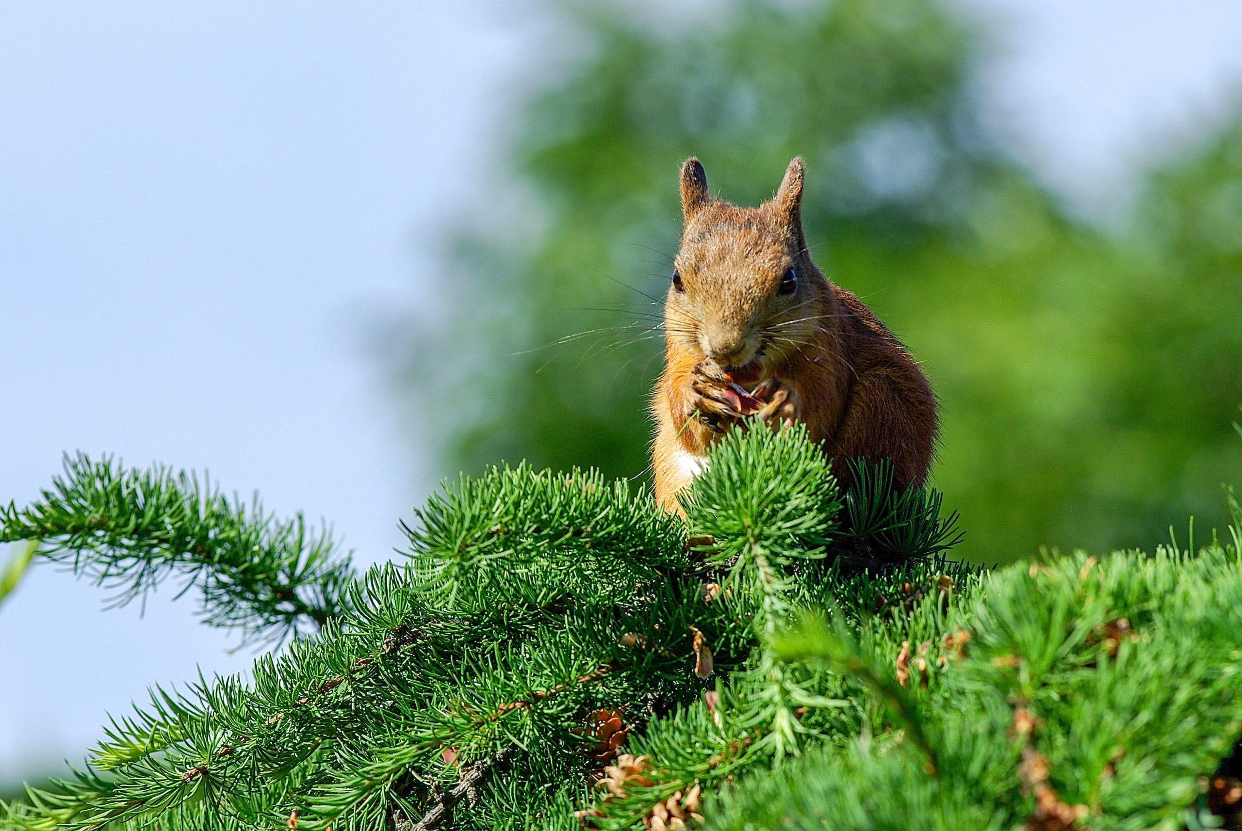 Eichhörnchen auf einem Lärchenast