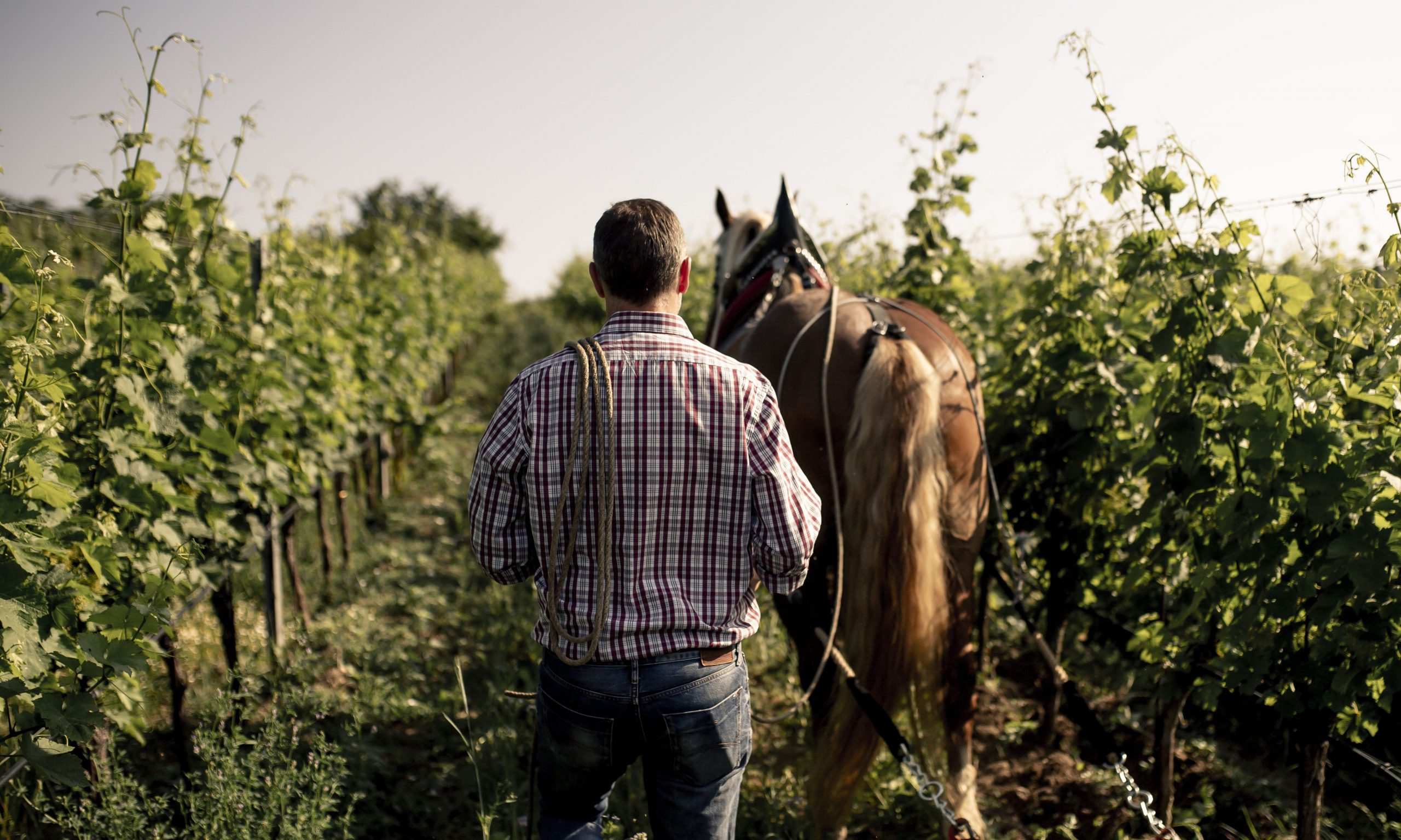 Mann mit Pferd im Weingarten