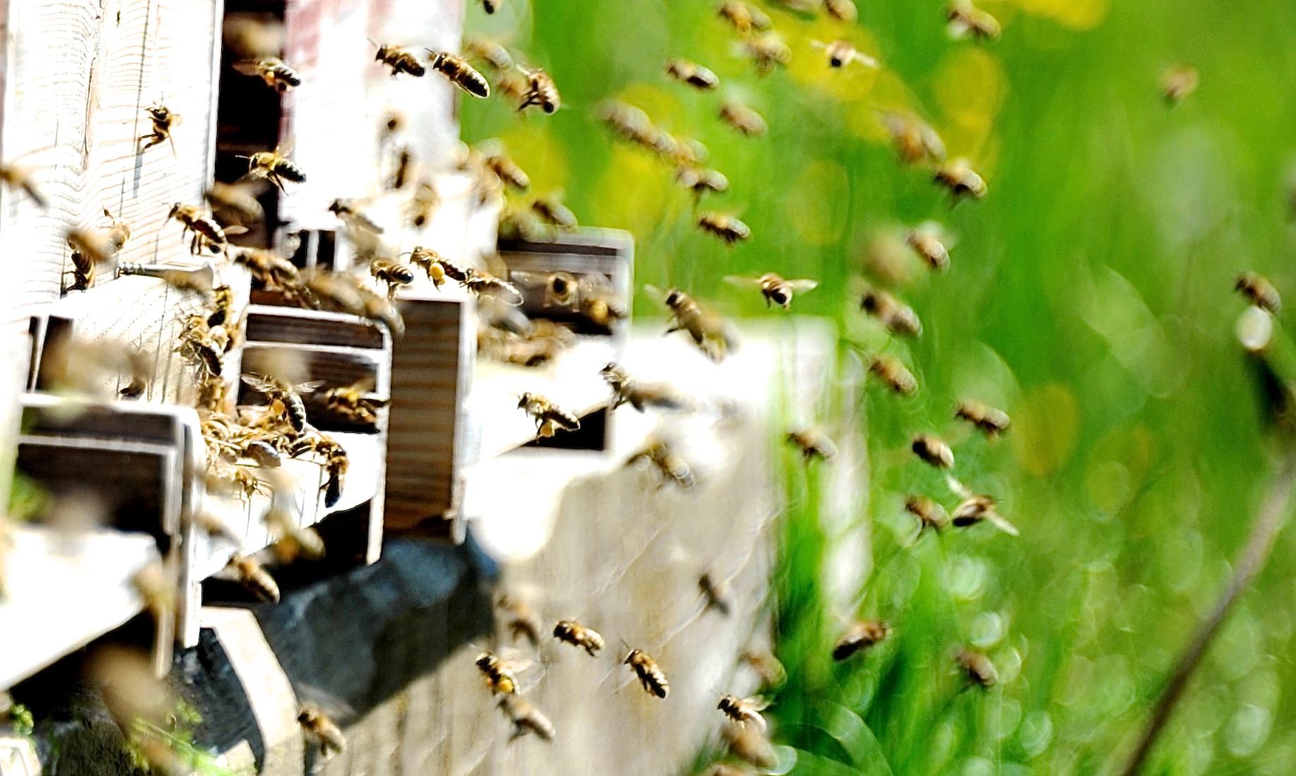Bienen fliegen zum Stock