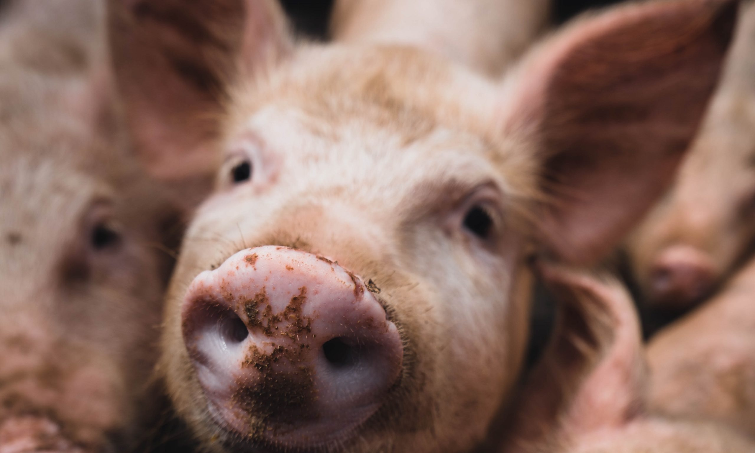 Schwein in Nahaufnahme