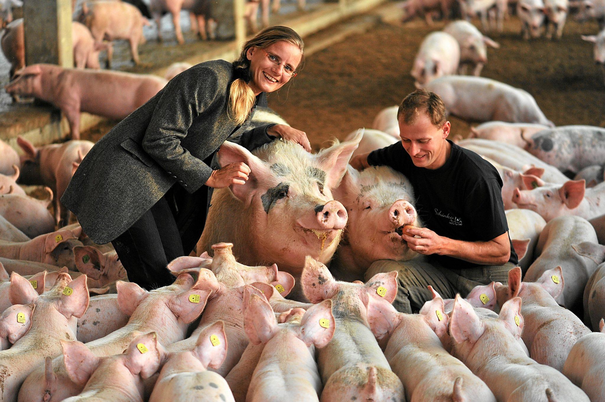 Mann, Frau und eine Herde Schweine