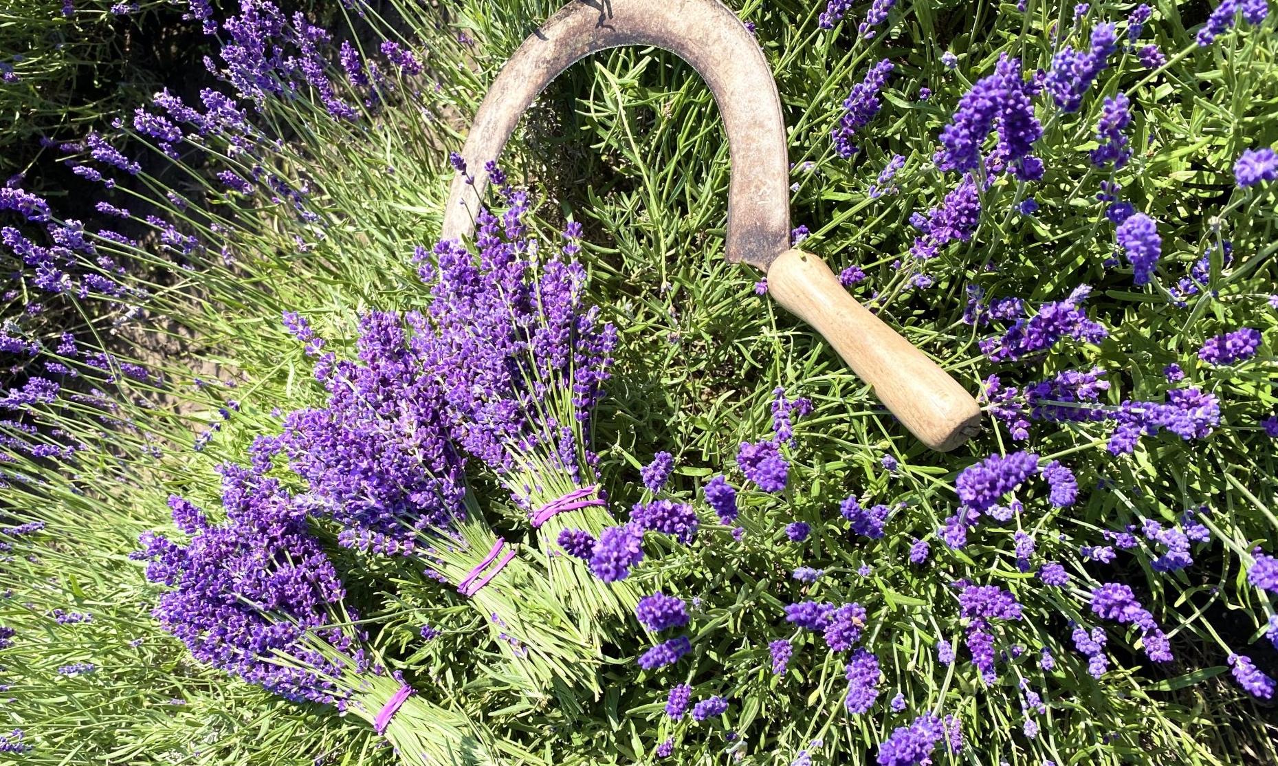 Lavendelbüsche und Sichel