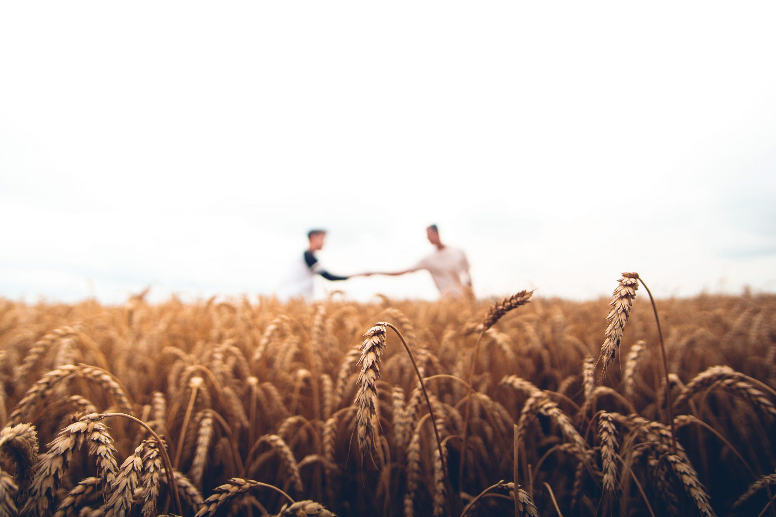 Zwei Männer im Weizenfeld