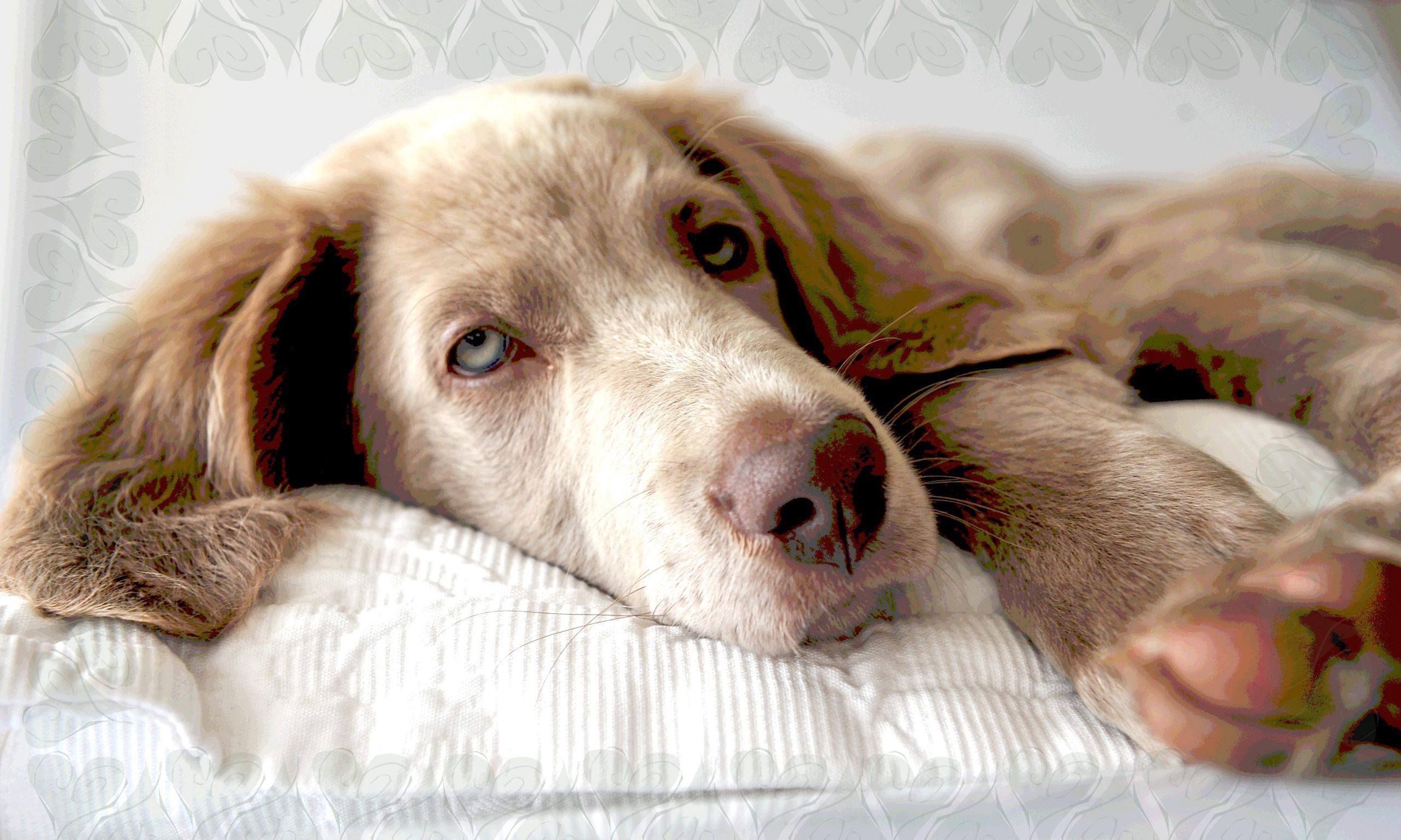 Hund liegt auf einem weißen Polster