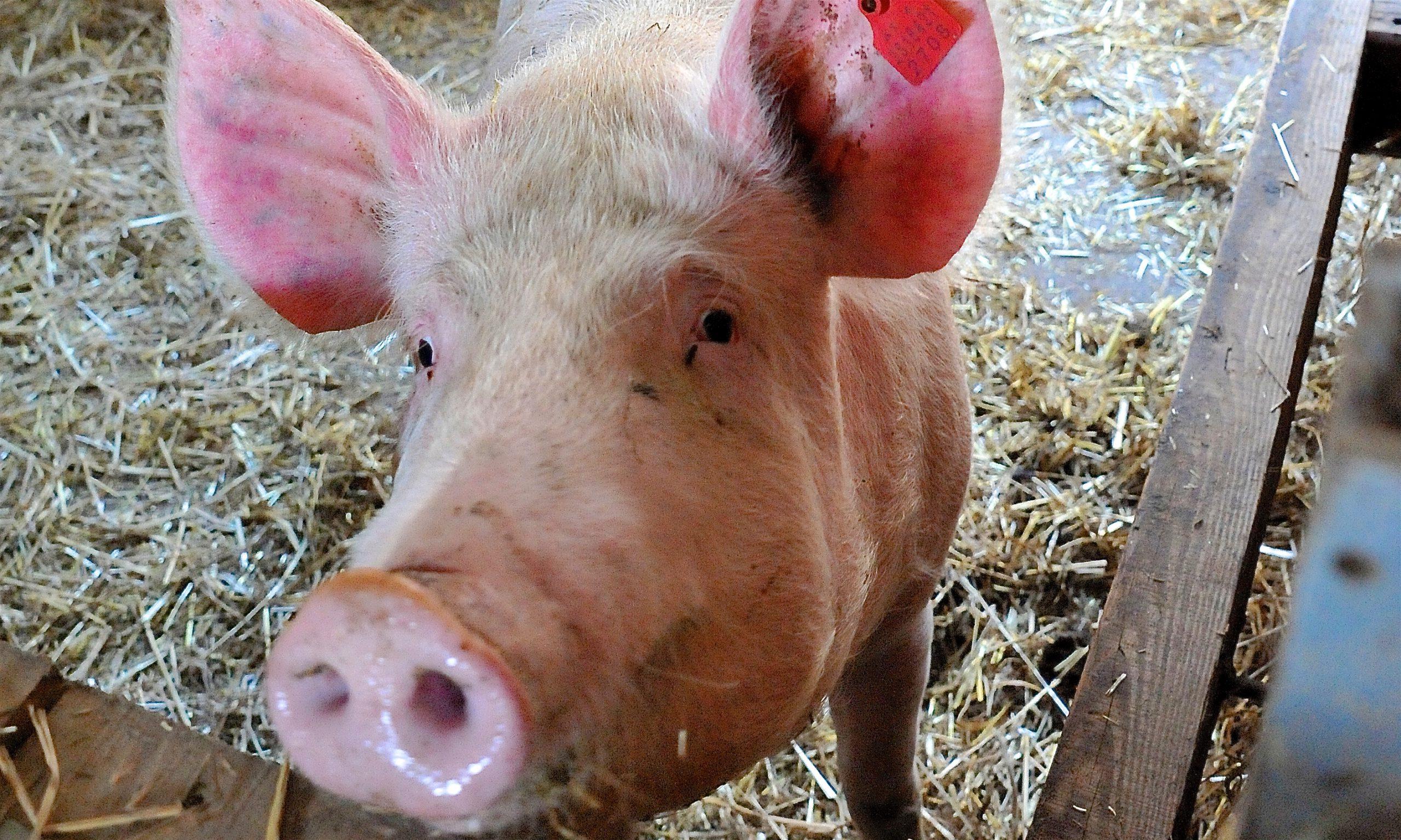 Schwein steckt Rüssel Richtung Kamera