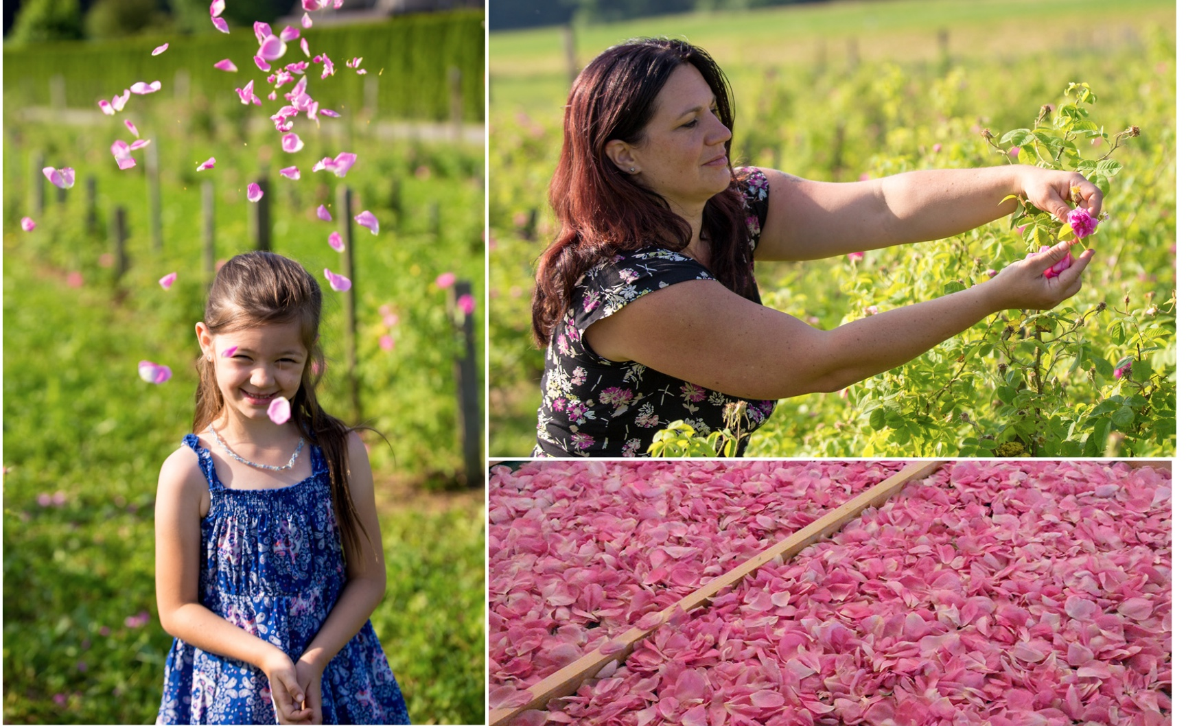 Mädchen mit Rosen, Frau pflückt Rosenblüten und Rosenblüten Damaszener Rose