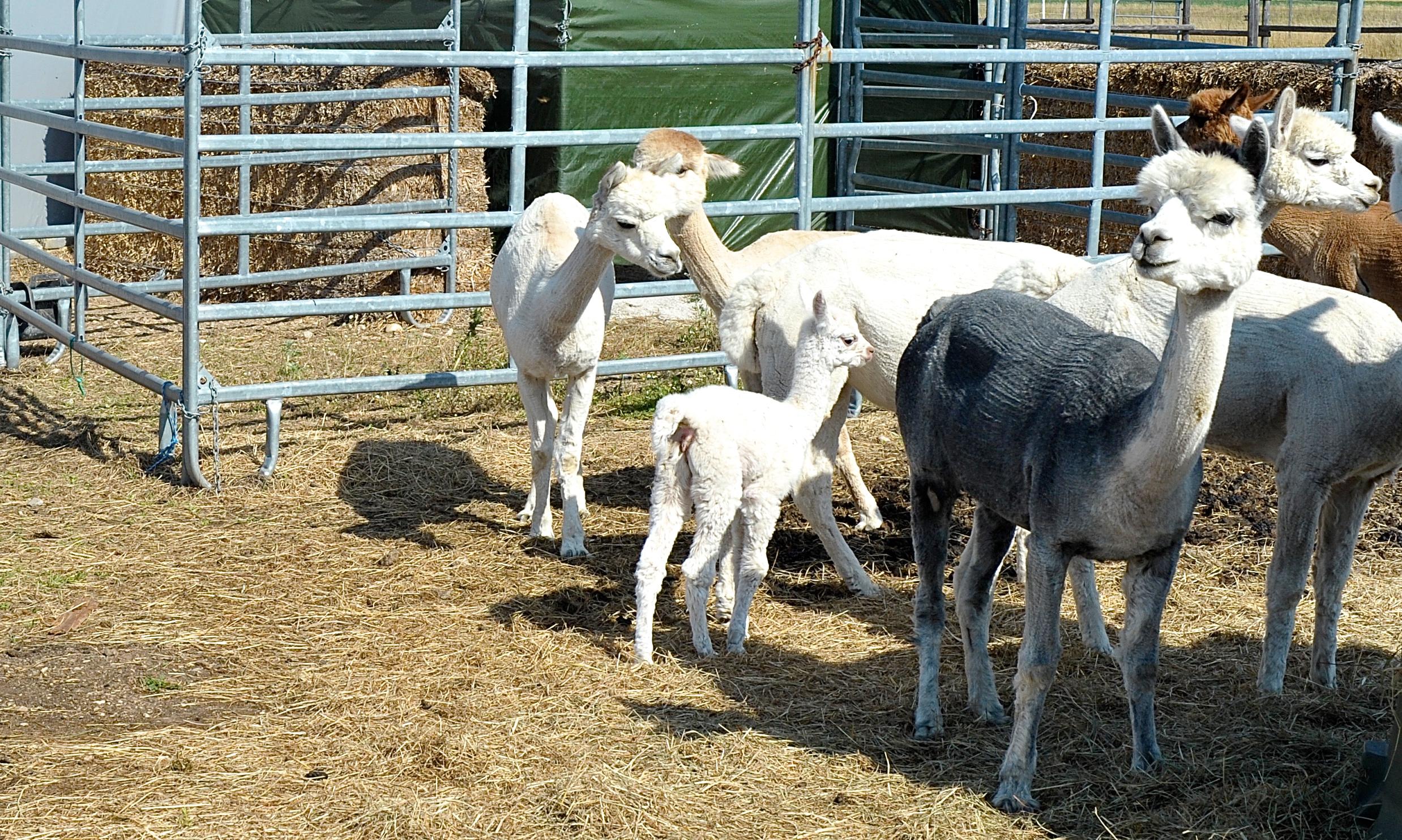 Alpakastuten und Fohlen