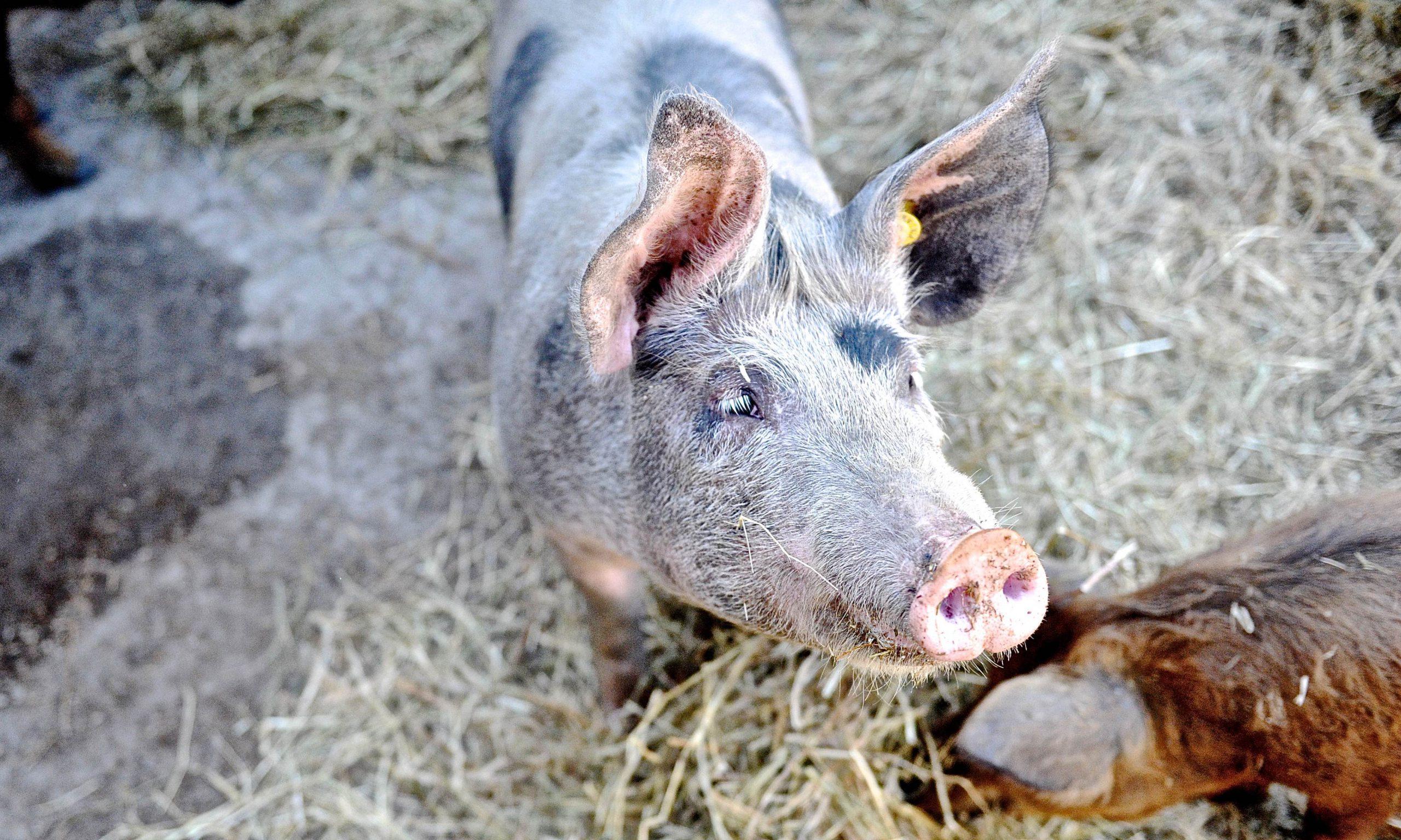 Glückliches Schwein, artgerechte Tierhaltung