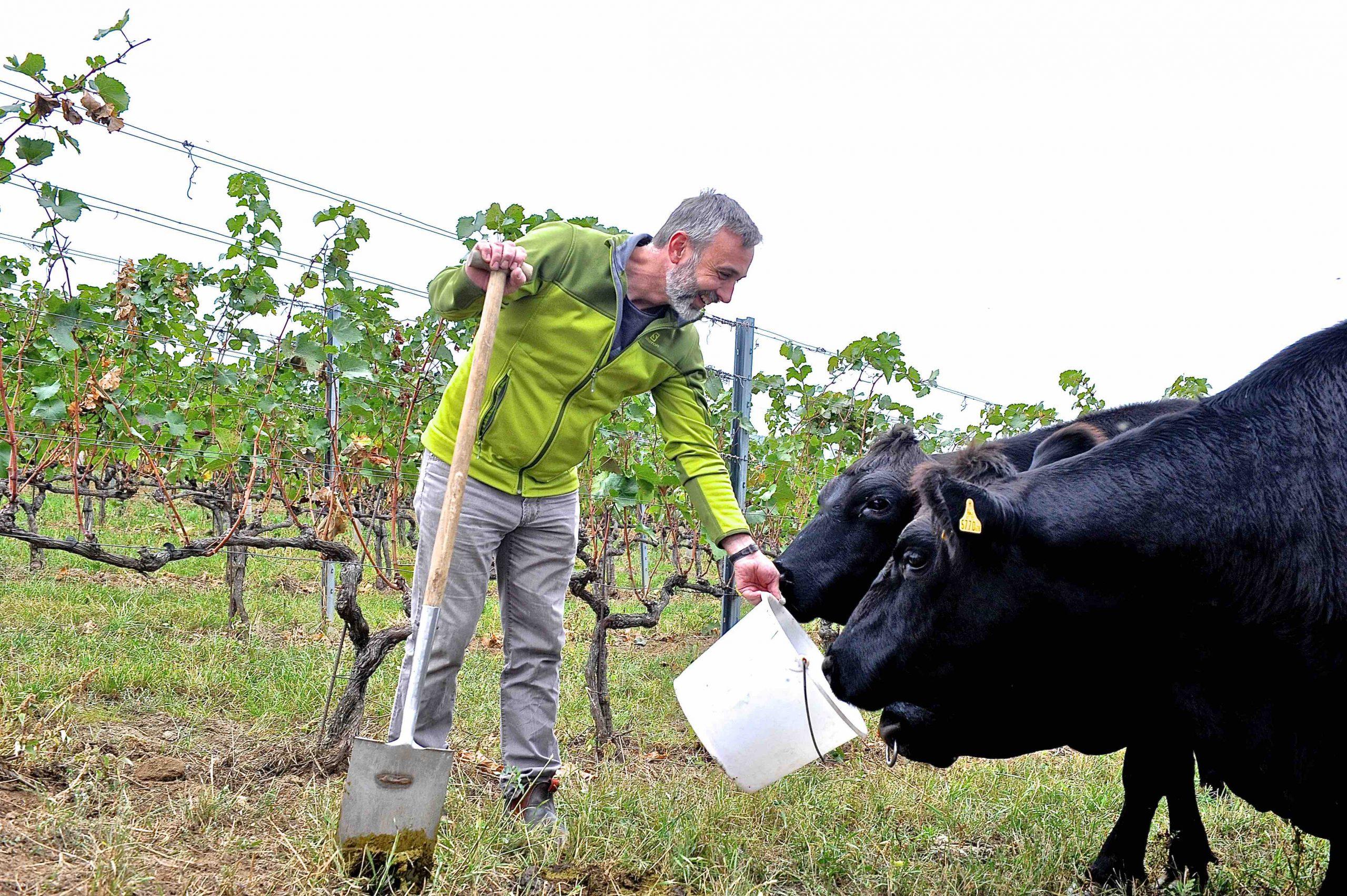 Bauer mit zwei Kühen